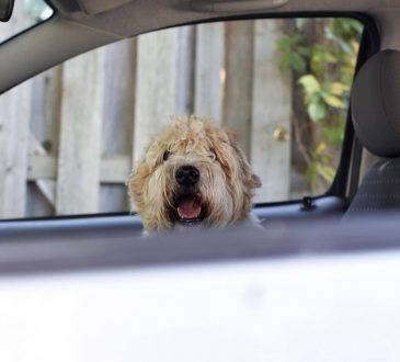 Životinje u automobilima